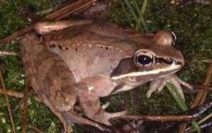 Alaska Wood Frog
