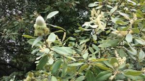 tanoak acorns